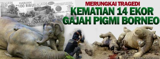 gajah pigmi BORNEO - 2013